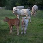 Mergellanderblonde rundvlees